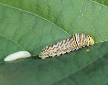 Zebra-Swallowtail.jpg